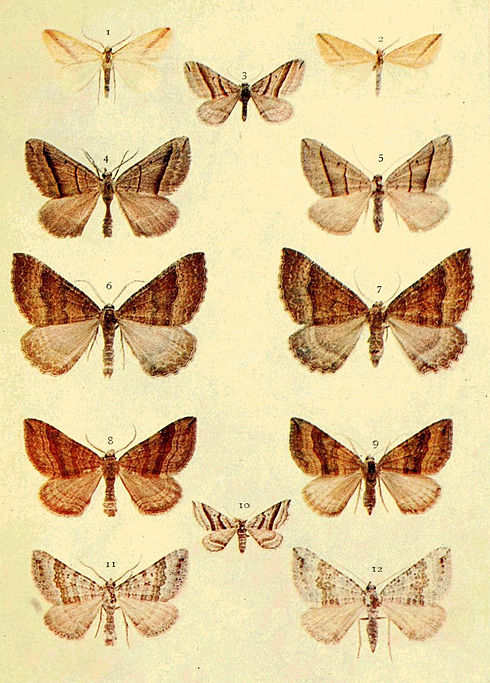 Moths of the British Isles Series2 Plate054.jpg