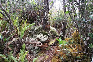 Dwarf forest - An elfin forest in Sumatra's Gunung Leuser National Park