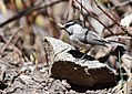 Mountain Chickadee (33981060816).jpg