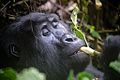 Mountain Gorilla, Uganda (15245881222).jpg