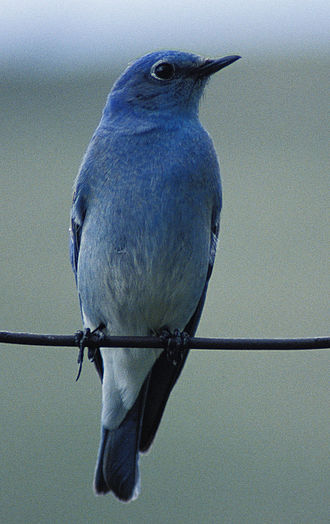 Bluebird - Mountain bluebird