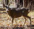 Mule Deer near Wawona in YNP.jpeg