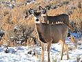 Mule Deer on Winter Range in SW Wyoming (23536623670).jpg