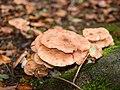 Multiple fungi (10493555216).jpg