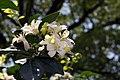 Murraya paniculata Lakeview 13zz.jpg