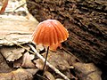 Mushrooms! Mill Trail Umstead NC SP 4243 (6641365413) (2).jpg