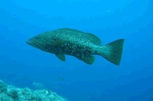 Mottled grouper - Image: Mycteroperca rubra