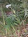 Myosotis stenophylla sl1.jpg