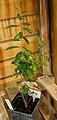 Myrica pensylvanica plant (10).jpg