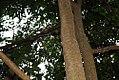 Myroxylon balsamum 1zz.jpg