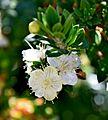 Myrtus communis subsp. tarentina003.JPG