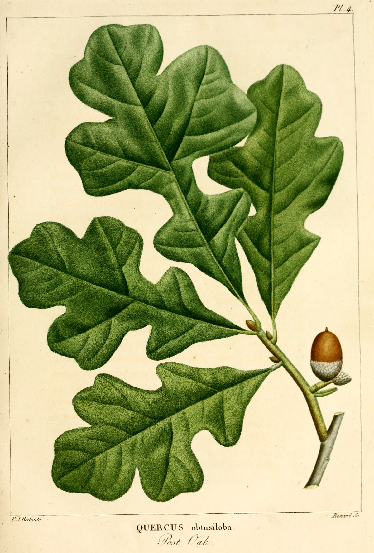 White Oak Leaf ~ Quercus stellata wikipedia