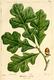 NAS-005f Quercus stellata.png