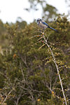NASA Kennedy Wildlife - Florida Scrub Jay (2).jpg