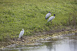 NASA Kennedy Wildlife - Great White Heron and Wood Storks.jpg