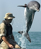 A bottlenose dolphin jumping out of the water (the entire body is visible) in front of a trainer in camouflage. The dolphin is wearing a small, cylindrical camera on its right fin