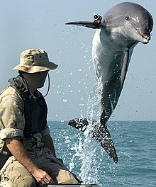 Photo of dolphin leaping clear of the water next to a man wearing a hat