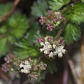 Nanocnide japonica (flower s2).jpg