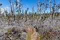 Napau trail vegetation.jpg