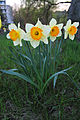 Narcissus-pseudonarcissus-1152.jpg