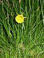 Narcissus bulbocodium close-up1.jpg