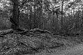 Nationaal Park Drents-Friese Wold. Locatie Dieverzand. Dode boom, belangrijke voedselbron in evenwichtig biotoop 001 01.jpg