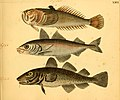 Naturgeschichte in Bildern mit erläuterndem Text (Taf. XXVI) (6058659725).jpg