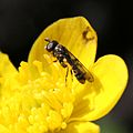 Neoascia podagrica (female).jpg