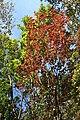 Neoshirakia japonica s4.jpg