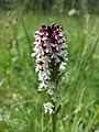 Neotinea ustulata subsp. ustulata sl4.jpg