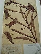 Nepenthes albomarginata specimen.jpg