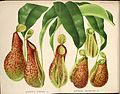Nepenthes henryana & Nepenthes lawrenciana - L'Illustration horticole (1882).jpg