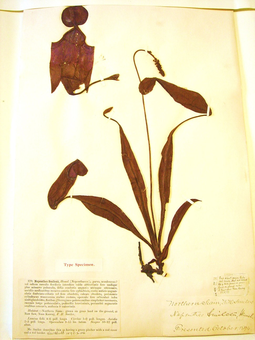 Nepenthes smilesii type specimen