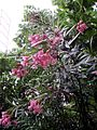 Nerium oleander in Montenegro.jpg