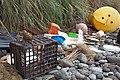 Nesocichla eremita -Inaccessible Island, British overseas territory-8 (3).jpg