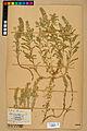 Neuchâtel Herbarium - Alyssum alyssoides - NEU000021941.jpg