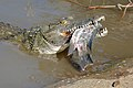 Nile Crocodile (Crocodylus niloticus) trying to swallow a big Tilapia (Oreochromis sp.)... (16647120860).jpg