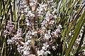 Nolina texana - Flickr - aspidoscelis (1).jpg
