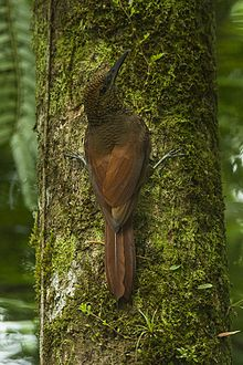 Northern Barred-Woodcreeper - Sarapiqui - Costa Rica S4E1244 (26670653646).jpg