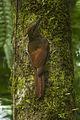 Northern Barred-Woodcreeper - Sarapiqui - Costa Rica S4E1244 (26670653646).jpg