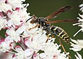Northern Paper Wasp feeding on blossoms.jpg