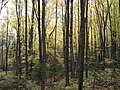 Northern hardwood forest - panoramio.jpg