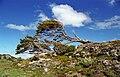 Nothofagus Tierra del Fuego.jpg
