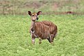 Nyala (female), Mlilwane Wildlife Sanctuary.jpg