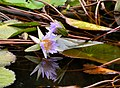 Nymphaea nouchali, Pretoria National Botanical Garden.jpg