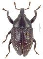 Nyphaeba monommoides Pascoe.tif