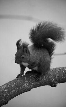 Oachkatzlschwoaf (Eichhörnchen).jpg