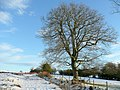 Oak on the edge of common land - geograph.org.uk - 1657039.jpg