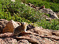 Ochotona princeps on Flattop Mountain on Rocky Mountain National Park (6107438010).jpg