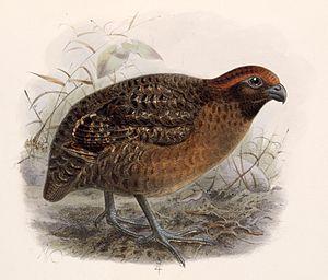 Black-eared wood quail - Image: Odontophorus melanotis 1902
